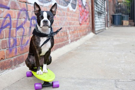 Boston Terrier on Skateboard in Urban Setting — Photograph by Chris Parsons/Getty Images