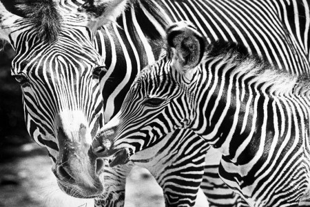 Mother and Baby Zebra at Franklin Park Zoo — Photograph by Boston Globe