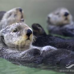 Three sea otters floating on their backs at Seattle Aquarium