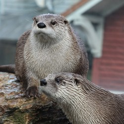 A closeup of two otters
