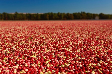 Colorful Cranberry Bog During Cranberry Harvest, 2014 — Photograph by Jena Ardell