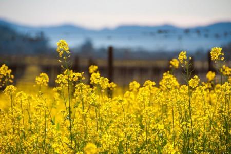 Mustard Melody — Photograph by Bob McClenahan