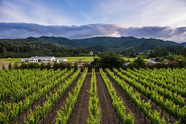 Field of Grape Vines